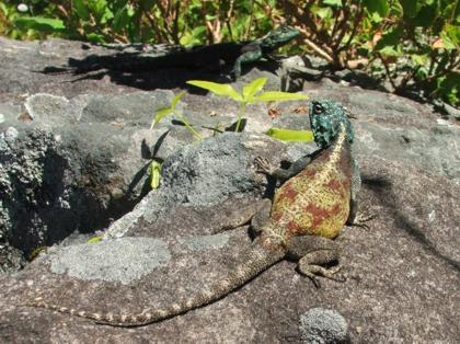 Lizards, Acanthocerus atricollis, on the Koppie