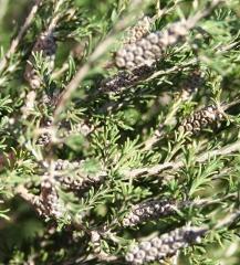 Melaleuca ericifolia capsules