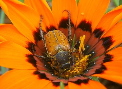 Male Clania glenlyonensis beetle feeding on Gazania rigida. Note pollen grains.