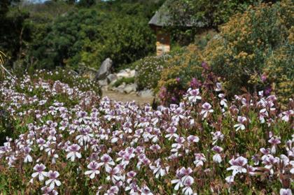 Pelargonium betulinum on the Koppie