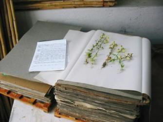 Plant press with Nemesia flower