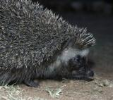 South African Hedgehog