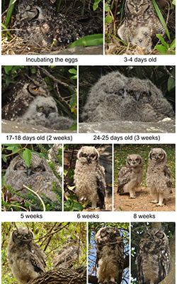 Spotted Eagle Owl breeding - 2013 season