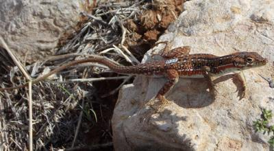 Spotted sand lizard