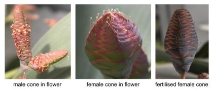 Welwitschia cones