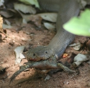 Mozambican spitting cobra eating a frog in the Garden