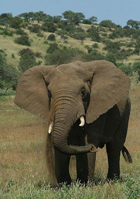 f23dc507bf06 African elephant - SANBI
