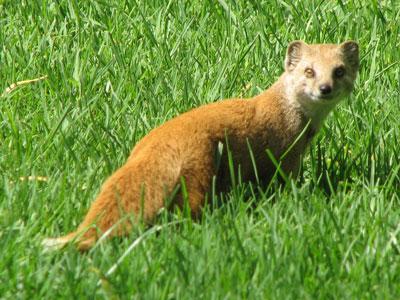 yellow mongoose sanbi