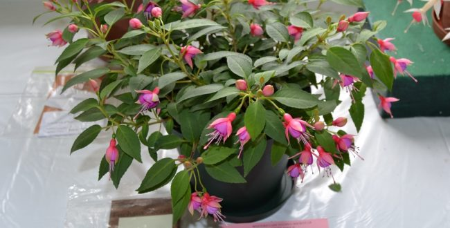 Western Cape Fuchsia Society annual show at Kirstenbosch