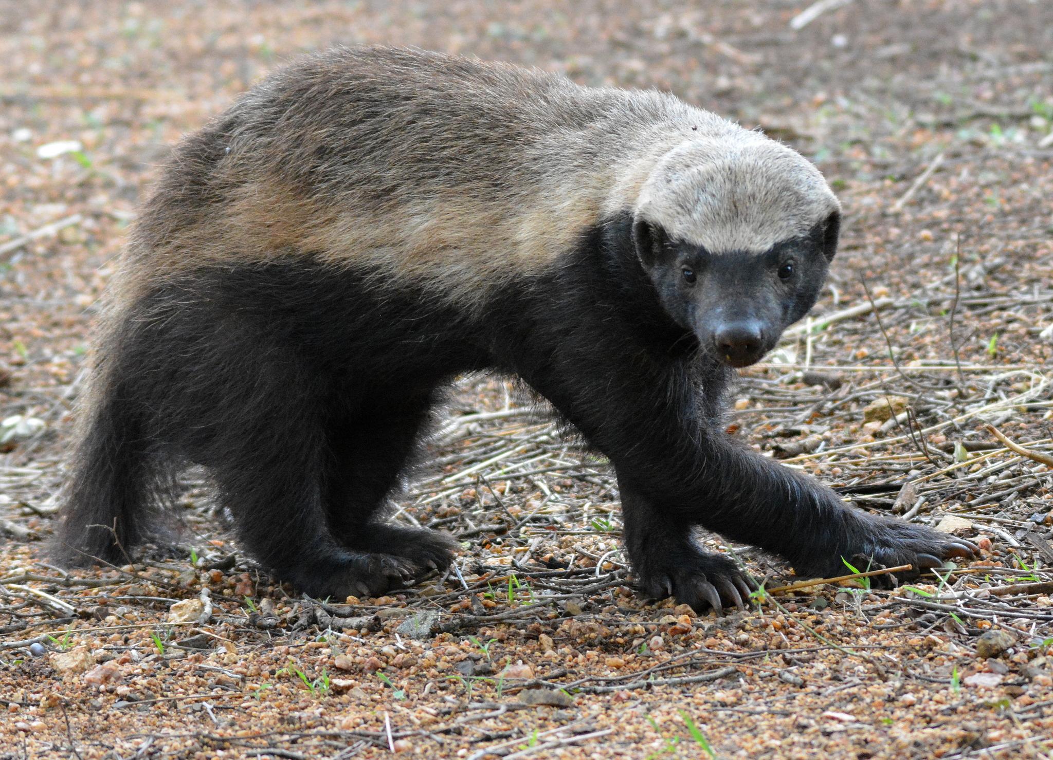 Honey Badger Sanbi